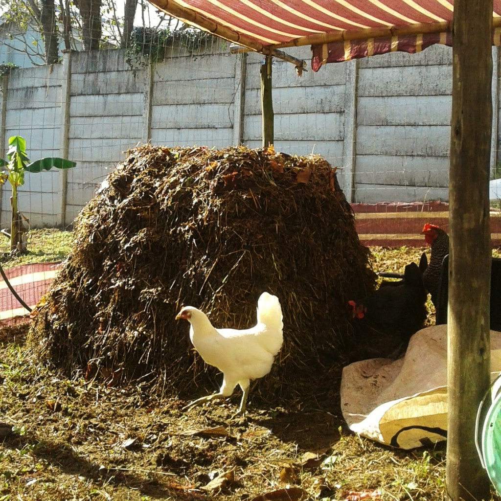 Compost heap directly in the vegetable garden. Chickens with the compost.